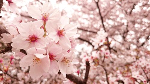 花小金井の桜