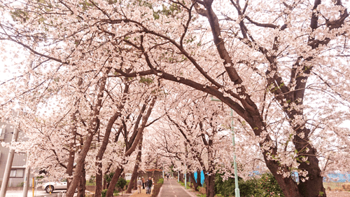 花小金井の桜並木